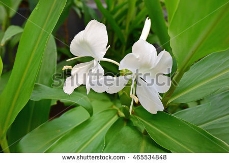 Ginger Lily Stock Photos, Royalty.