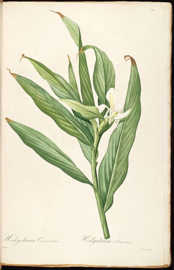 Hedychium Coronarium or The white ginger lily, is a perennial.