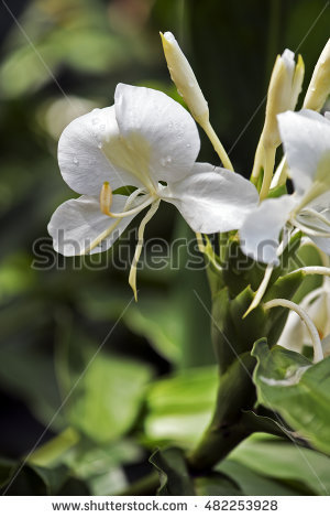 Hedychium Stock Photos, Royalty.
