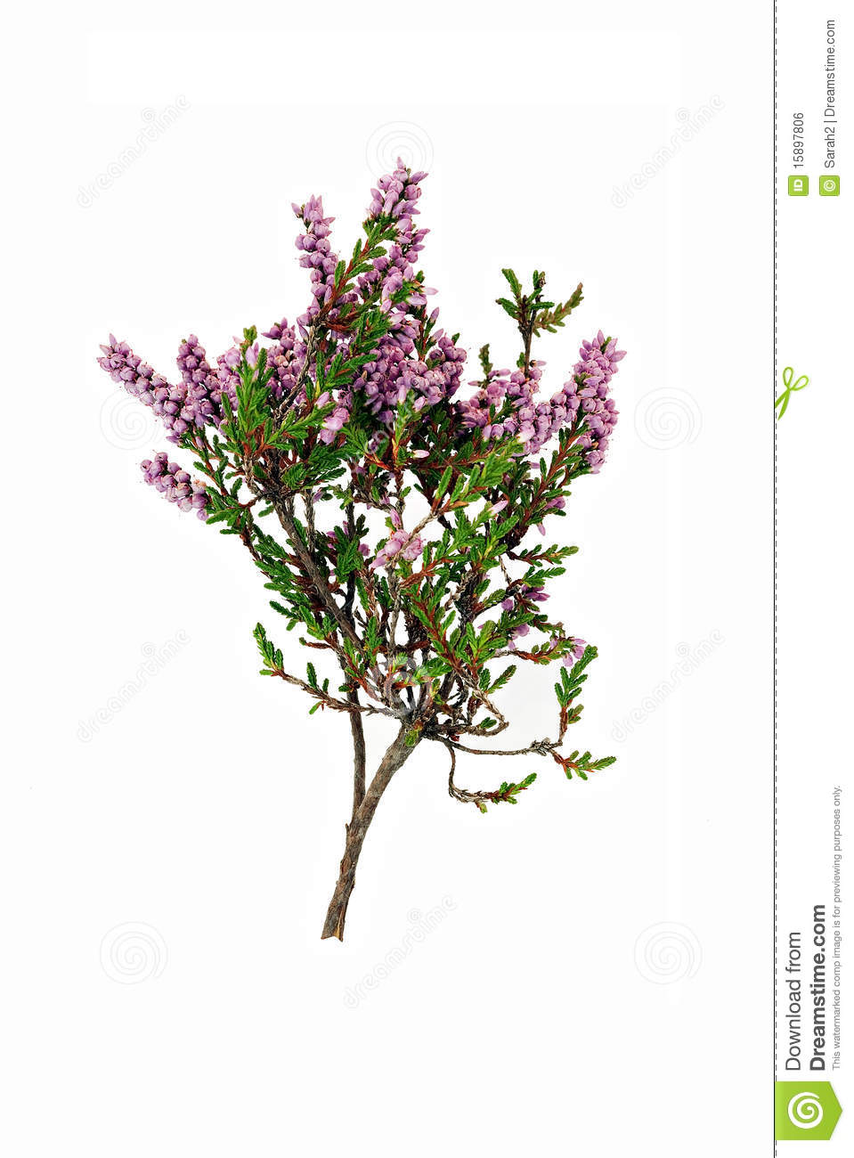 Purple Heather Clipart.