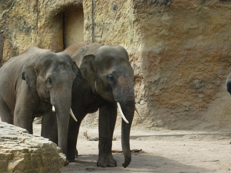 Free photo Wild Elephants Animals Zoo Animals Heidelberg Zoo.
