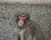 Stock Photograph of Rhesus macaque in Heidelberg Zoo, Germany.