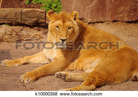 Pictures of Lion female is lying down in rest in Heidelberg Zoo.
