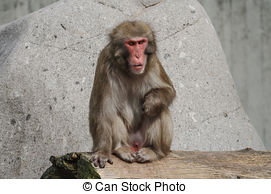 Stock Image of Alpha Male Rhesus macaque in Heidelberg Zoo.