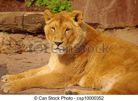 Stock Images of Lion female is lying down in rest in Heidelberg.