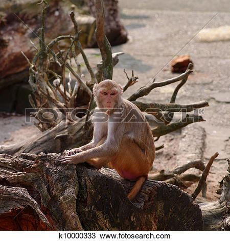 Stock Photo of Rhesus monkey at the Heidelberg's Zoo, Germany.