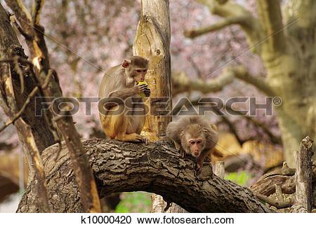 Stock Photography of Rhesus monkeys are defending their food.