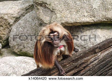 Stock Photography of Alpha Male Rhesus macaque in Heidelberg Zoo.