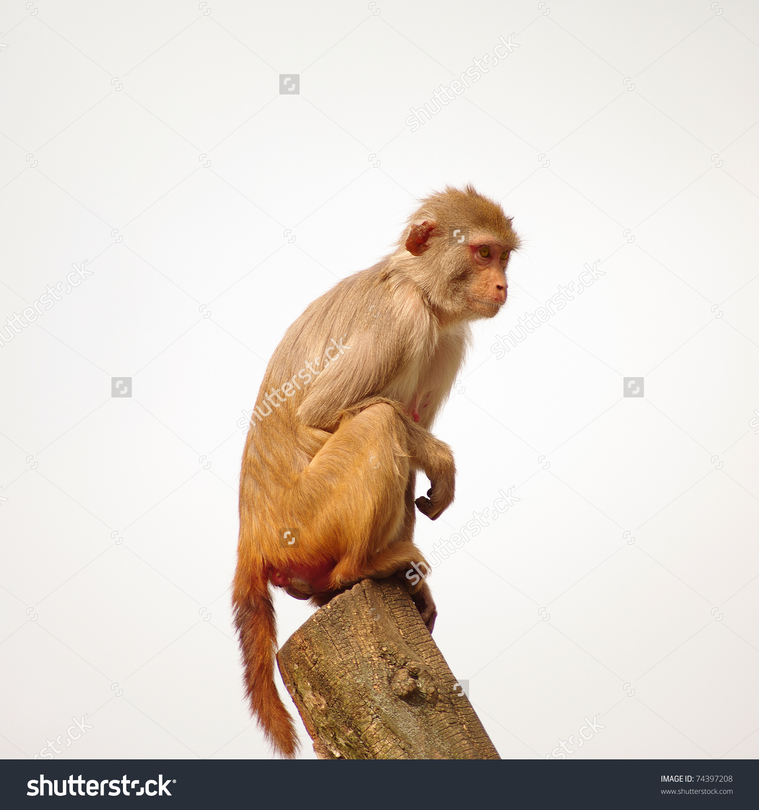Rhesus Monkey Heidelbergs Zoo Germany Stock Photo 74397208.