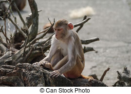 Stock Photo of Alpha Male Rhesus macaque in Heidelberg Zoo.