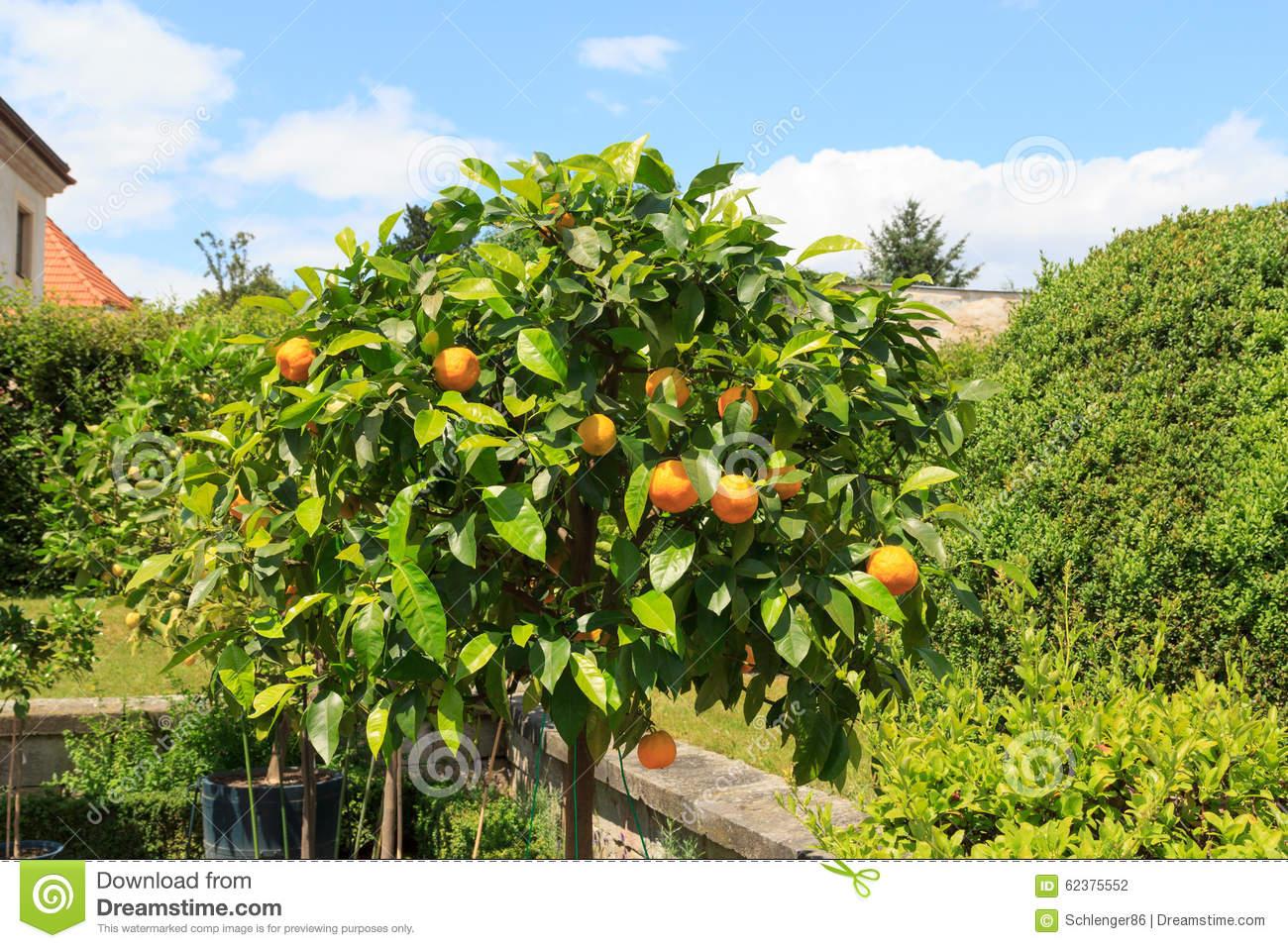 Orange Tree At Baroque Garden Grosssedlitz In Heidenau, Saxony.