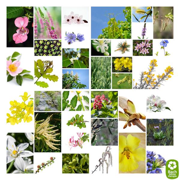 Die verschiedenen Arten von Bachblüten.