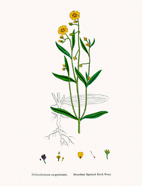 Frostweed Clip Art, Vector Images & Illustrations.
