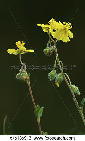Stock Photo of hoary rock rose, helianthemum canum x75135913.
