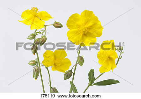 Stock Photography of Rock Rose (Helianthemum nummularium), flowers.
