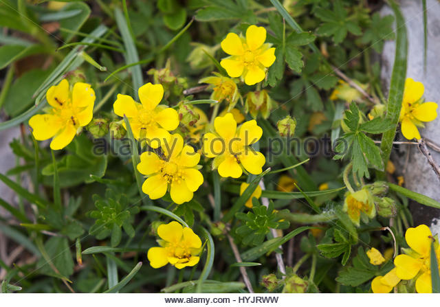 Common Rockrose Helianthemum Nummularium Stock Photos & Common.