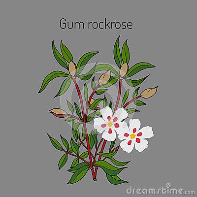 Helianthemum Nummularium Common Rock Rose Stock Illustrations.
