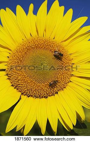 Stock Photography of laval, quebec, canada; sunflower (helianthus.