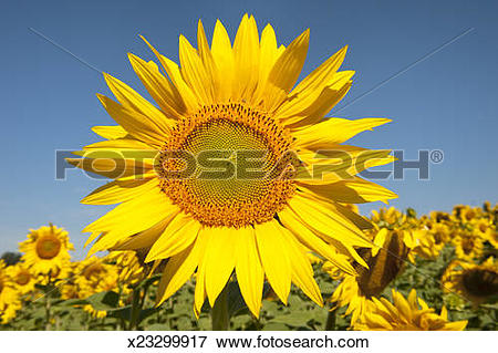 Picture of Sunflower (Helianthus annuus), Drôme x23299917.