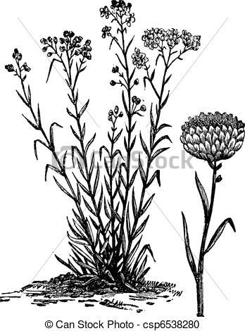 Vector Clipart of Helichrysum orientale vintage engraving.