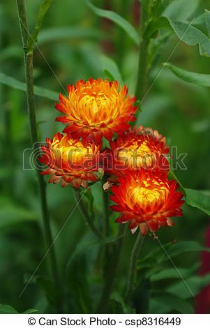 Helichrysum Stock Photo Images. 511 Helichrysum royalty free.