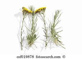 Helichrysum Stock Photo Images. 568 helichrysum royalty free.