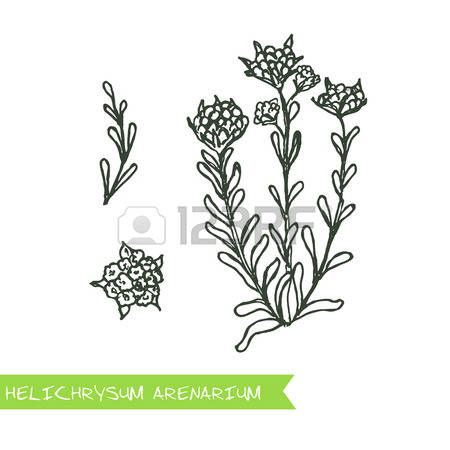 55 Helichrysum Stock Illustrations, Cliparts And Royalty Free.