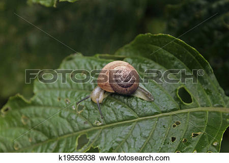 Pictures of Helicidae, Roman snail, Edible snail, Vineyard snail.