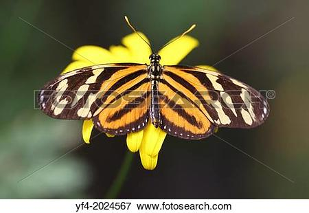 Picture of Tiger Longwing butterfly (Heliconius ismenius) also.