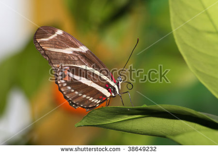 Heliconius Charithonia Stock Photos, Images, & Pictures.