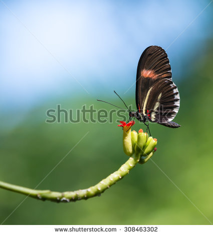 Heliconius Erato Stock Photos, Royalty.