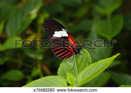 Stock Photo of Postman Butterfly sideview. Heliconius melpomene.