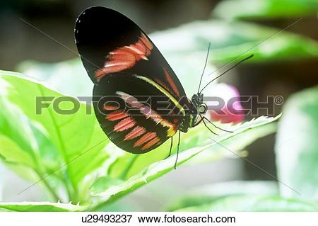Picture of (Heliconius melpomene rosina) Butterfly, Ventral view.