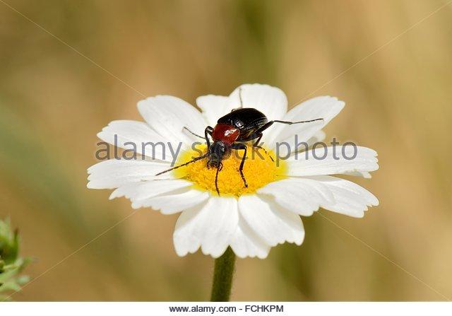 Sheet Beetle Stock Photos & Sheet Beetle Stock Images.
