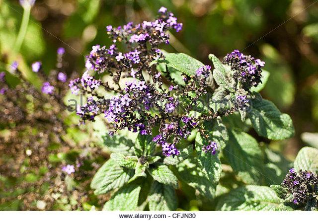 Heliotropium Arborescens Stock Photos & Heliotropium Arborescens.