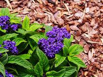 Heliotropium Arborescens Royalty Free Stock Images.