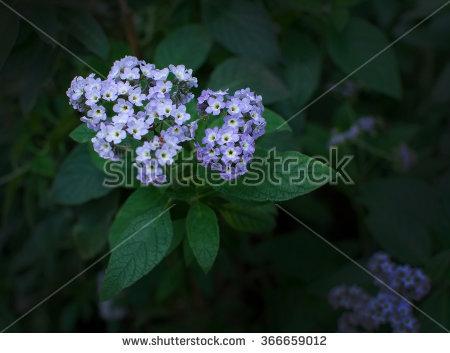 Heliotrope Flower Stock Photos, Royalty.