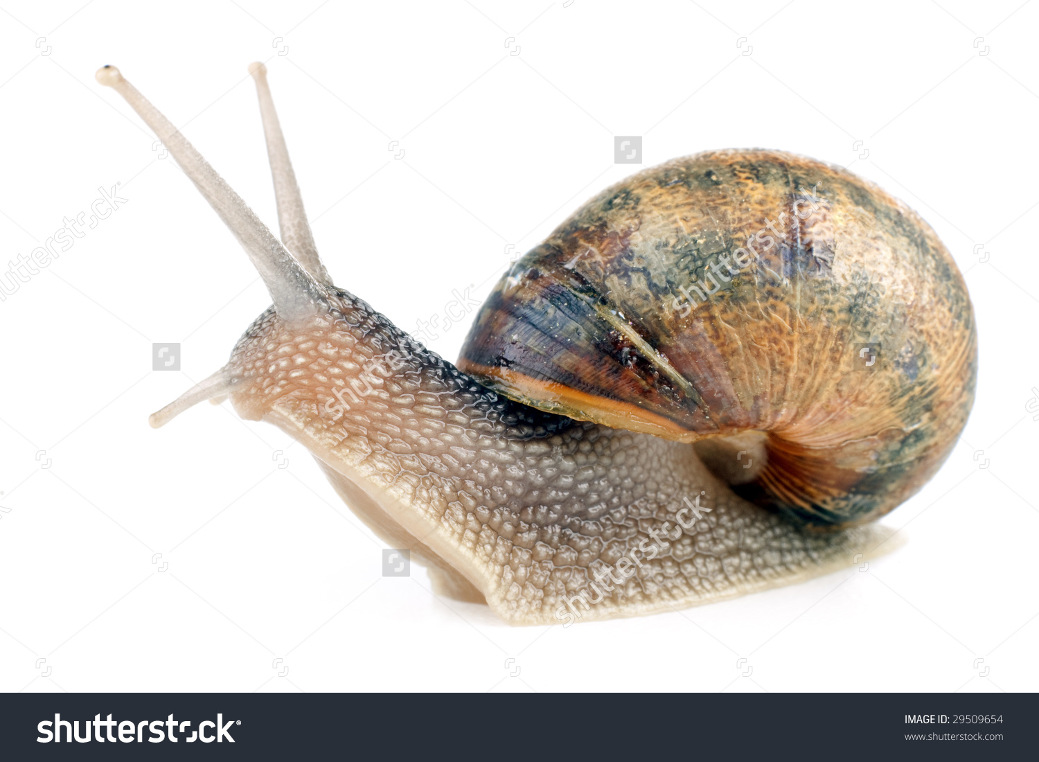 Common European Snail Helix Aspersa Isolated On White Background.