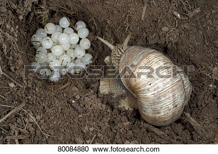 Stock Photography of DEU, 2011: Roman Snail, Escargot Snail.