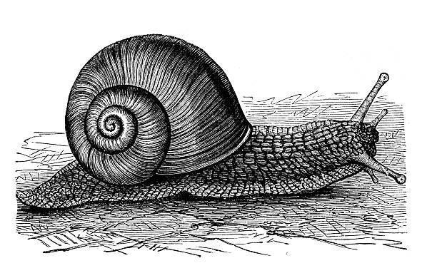Antique Illustration Of Helix Pomatia (Burgundy Snail, Roman Snail.