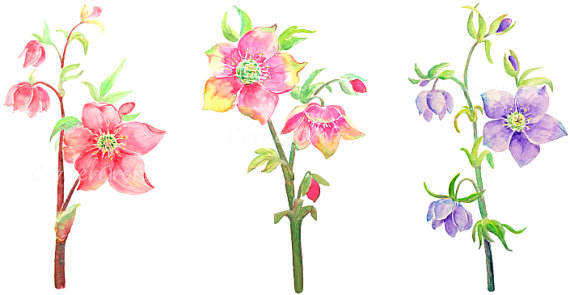 hand painted watercolour hellebore flowers red by CornerCroft.