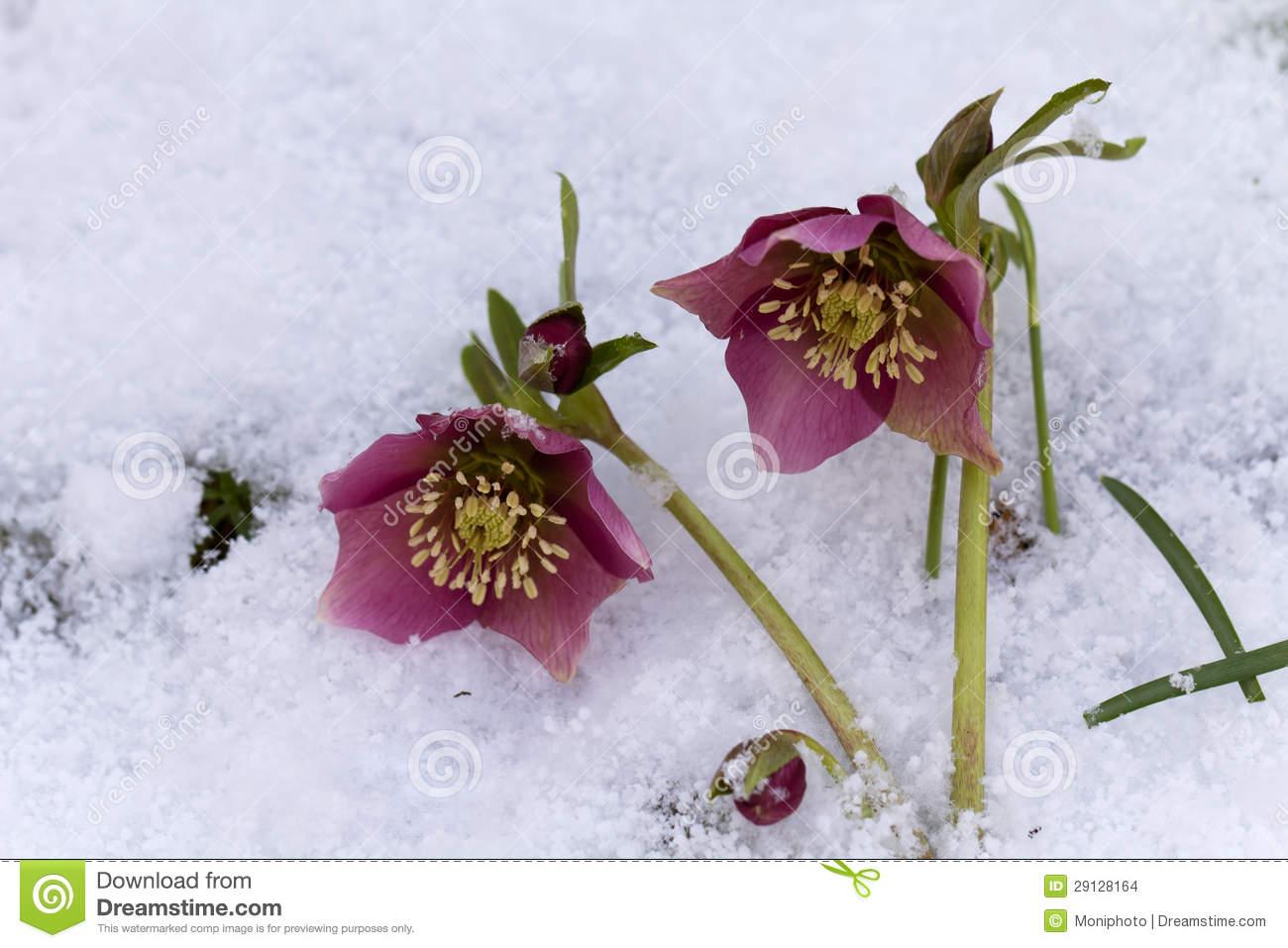 Pink Hellebore (Helleborus Niger) Or Christmas Rose Flowers In.