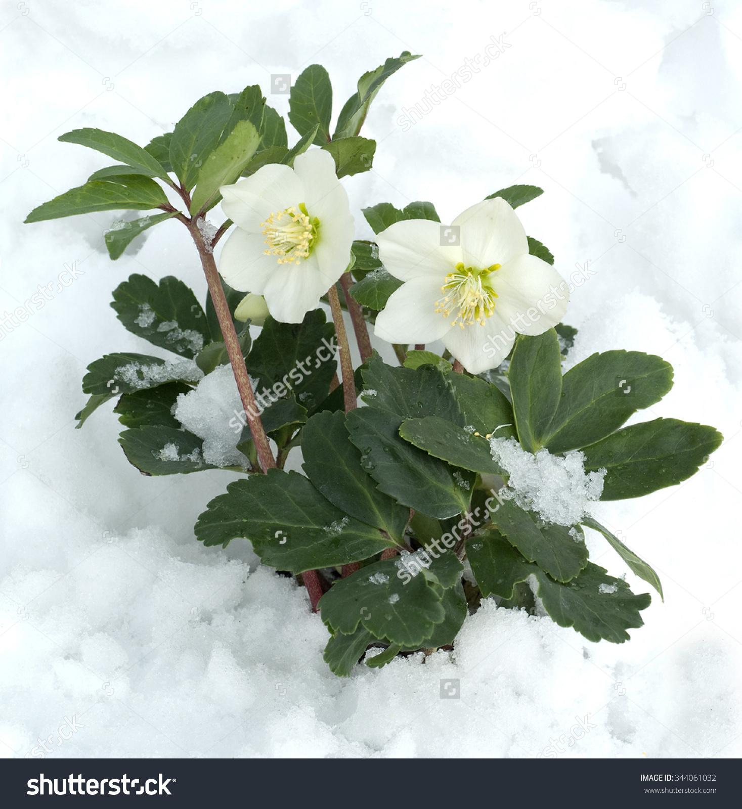 Christmas Rose Helleborus Niger Stock Photo 344061032.