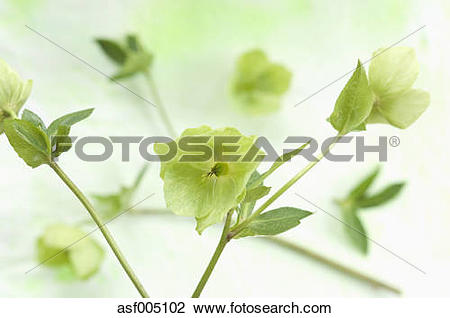 Stock Photo of Helleborus niger flowers on textile, close up.