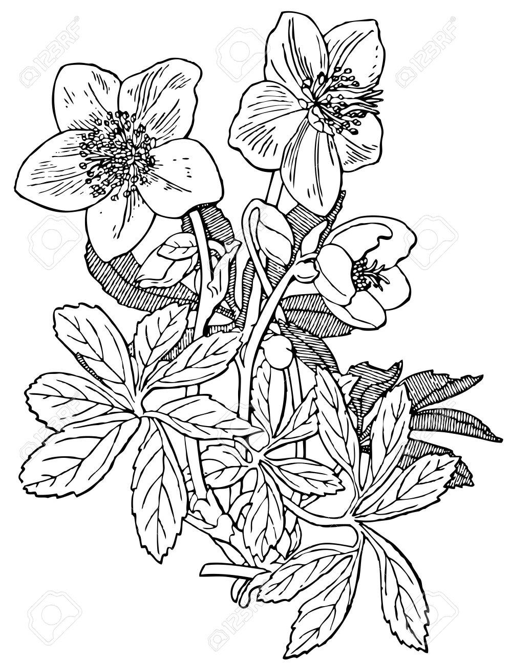 Plant Helleborus Niger Royalty Free Cliparts, Vectors, And Stock.