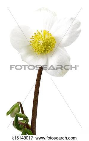 Picture of Black hellebore, Helleborus niger or Christmas Rose.