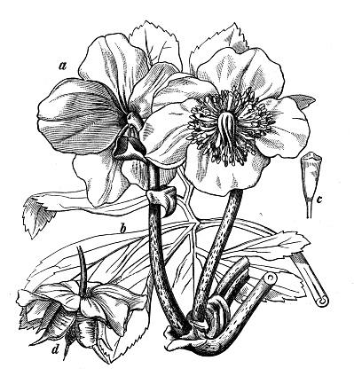 Ranunculus Clip Art, Vector Images & Illustrations.