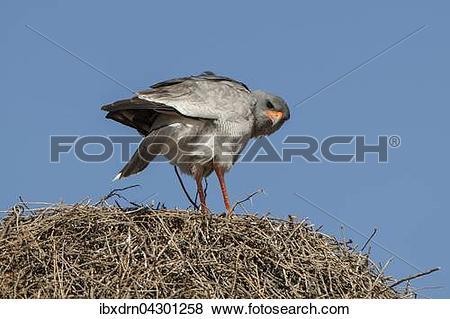 Pictures of Heller Grauflugelhabicht (Melierax canorus) sitzt auf.