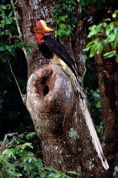 The Helmeted Hornbill: Nature's Dinosaur Bird.