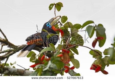 """""""female Hornbill"""" Stock Photos, Royalty."""